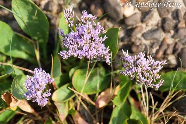 Limonium vulgare (Gewöhnlicher Strandflieder), 18.7.2008