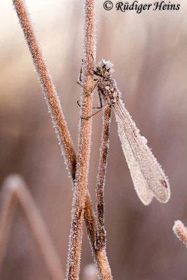Lestes virens (Kleine Binsenjungfer) Weibchen,  3. November 2016 8:09 Uhr