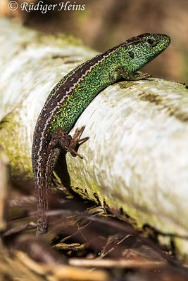 Lacerta agilis (Zauneidechse) Männchen, 31.5.2021