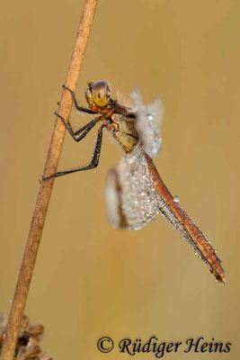 Sympetrum pedemontanum (Gebänderte Heidelibelle) Weibchen, 3.9.2011