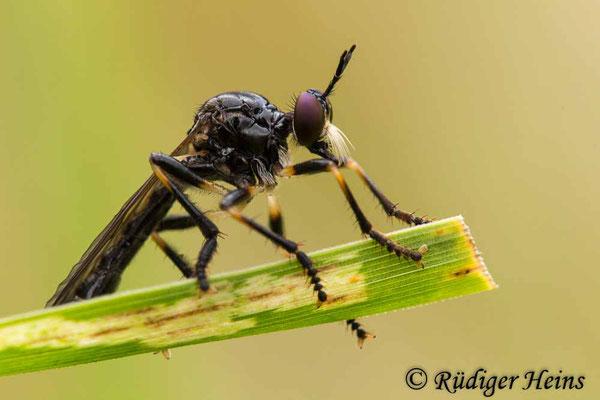 Dioctria cothurnata (Beulen-Habichtsfliege) Männchen, 10.7.2020