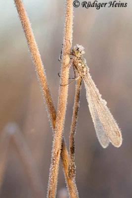 Lestes virens (Kleine Binsenjungfer) Weibchen, 3. November 2016 8:23 Uhr