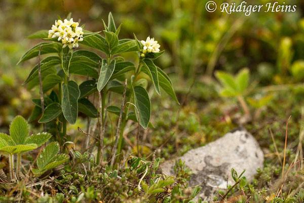 Vincetoxicum hirundinaria (Schwalbenwurz), 31.5.2014