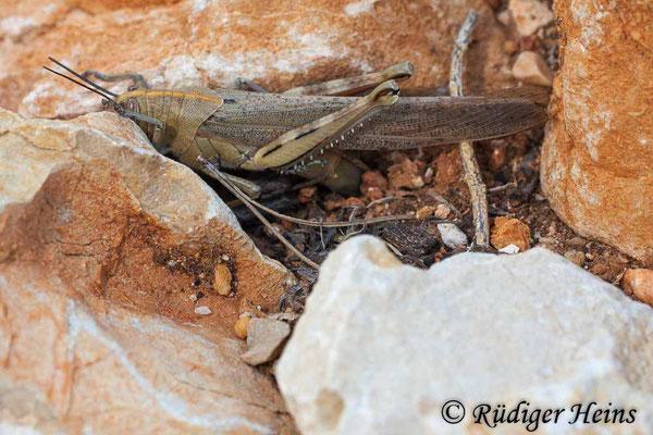 Anacridium aegyptium (Ägyptische Wanderheuschrecke) Weibchen bei Eiablage, 30.6.2010