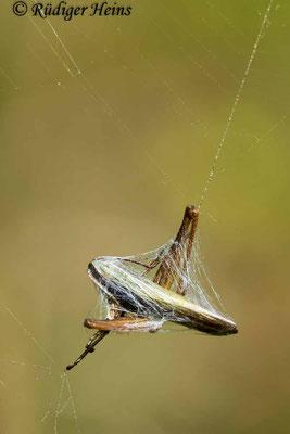 Chorthippus dorsatus (Wiesengrashüpfer) Männchen im Spinnennetz, 16.9.2018
