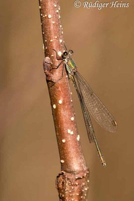 Chalcolestes viridis (Gemeine Weidenjungfer) Männchen, 7.11.2020