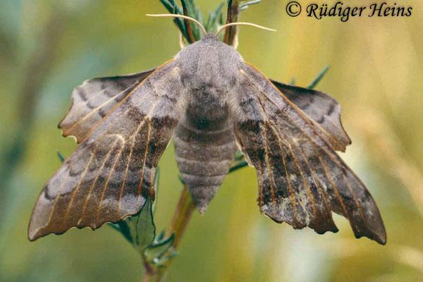 Laothoe populi (Pappelschwärmer), 18.7.1997 (Scan vom Dia)
