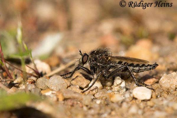 Dysmachus trigonus (Säbel-Raubfliege) Männchen, 9.6.2021 - Makroobjektiv 180mm f/3.5