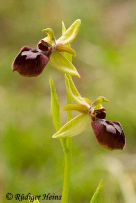 Ophrys araneola (Kleine Spinnen-Ragwurz), 1.5.2014