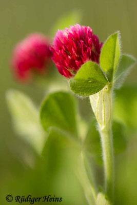 Trifolium incarnatum (Inkarnat-Klee), 23.5.2020