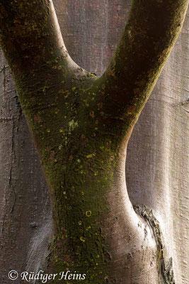 Fagus sylvatica (Rotbuche), 6.12.2009