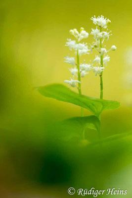 Maianthemum bifolium (Zweiblättrige Schattenblume), 23.5.2017