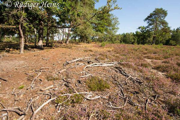Tolmerus pyragra (Kleine Raubfliege) Habitat, 29.8.2020