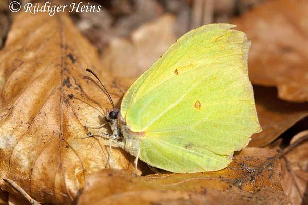 Gonepteryx rhamni (Zitronenfalter), 9.5.2009