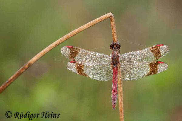 Sympetrum pedemontanum (Gebänderte Heidelibelle) Männchen, 1.9.2012