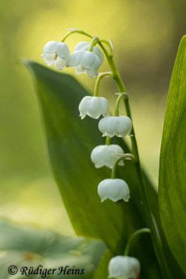 Convallaria majalis (Maiglöckchen) Blütenstand, 12.5.2020