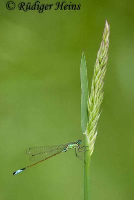 Ischnura elegans (Große Pechlibelle) Männchen, 22.6.2012