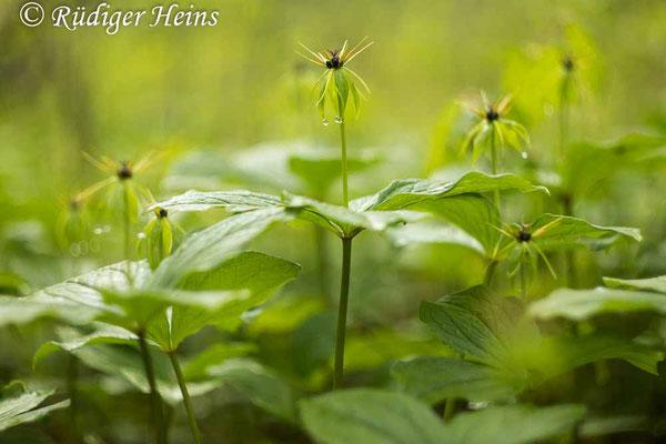 Paris quadrifolia (Vierblättrige Einbeere) Pflanzengruppe, 16.5.2021 - Helios 44-2 58mm f/2