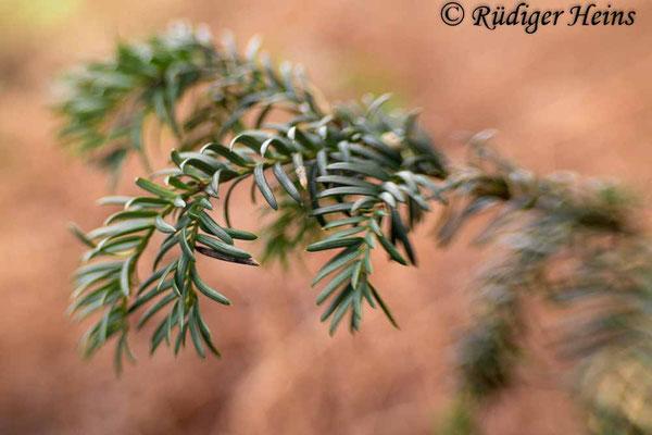 Europäische Eibe (Taxus baccata), 2.1.2021 - Lensbaby Sweet 35mm f/2,5