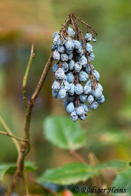Mahonia aquifolium (Gewöhnliche Mahonie), 12.10.2020
