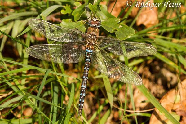 Aeshna mixta (Herbst-Mosaikjungfer) Männchen, 4.11.2020