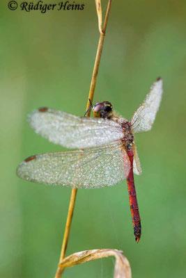 Sympetrum depressiusculum (Sumpf-Heidelibelle) Männchen, 26.9.2015