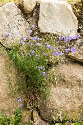 Campanula rotundifolia (Rundblättrige Glockenblume), 2.7.2020