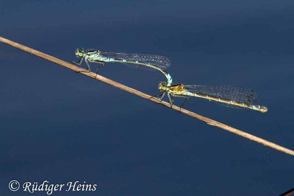 Coenagrion lunulatum (Mond-Azurjungfer) Tandem, 18.5.2017