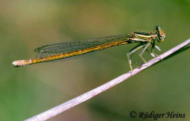 Platycnemis acutipennis (Rote Federlibelle) Weibchen, 31.5.2000 (Scan vom Dia)