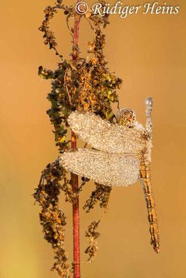 Sympetrum striolatum (Große Heidelibelle) Weibchen, 28.9.2013