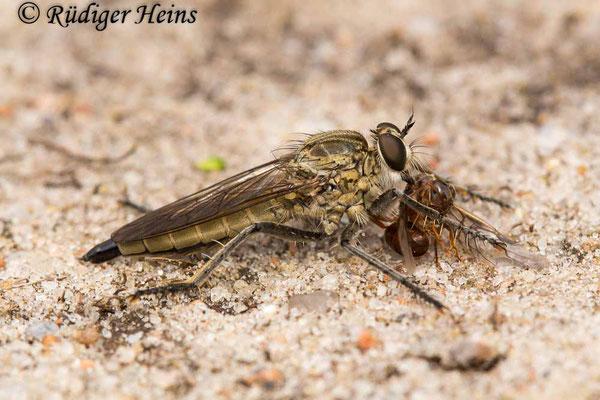 Philonicus albiceps (Sand-Raubfliege) Weibchen, 13.7.2020