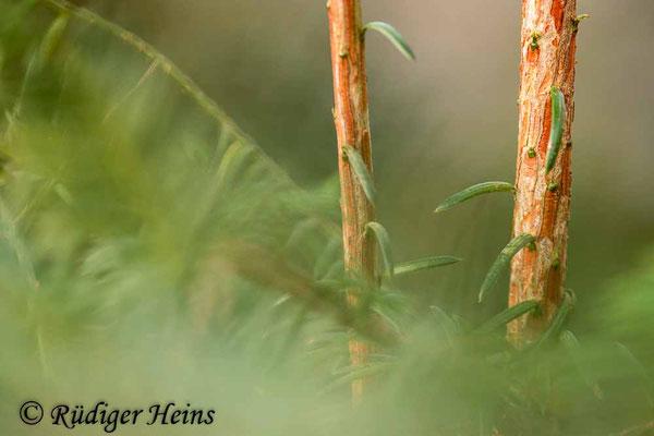Europäische Eibe (Taxus baccata), 19.3.2021 - Makroobjektiv 180mm f/3,5