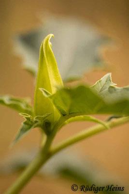 Datura stramonium (Gemeiner Stechapfel) Knospe, 24.8.2020