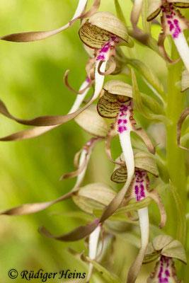 Himantoglossum hircinum (Bocks-Riemenzunge), 21.5.2015