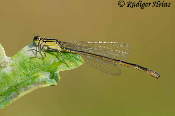 Ischnura elegans (Große Pechlibelle) Weibchen, 9.9.2012