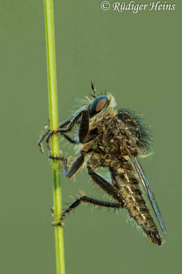 Dysmachus trigonus (Säbel-Raubfliege) Männchen, 14.6.2021 - Makroobjektiv 180mm f/3.5