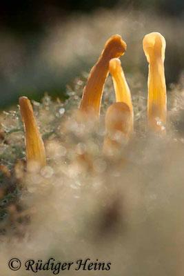 Clavaria argillacea (Heidekeule), 4.11.2012