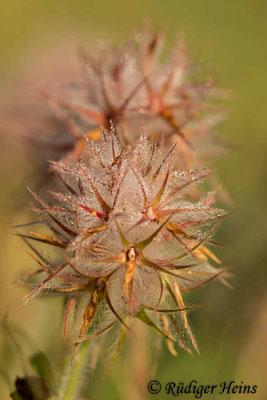 Trifolium stellatum (Stern-Klee), 9.5.2019