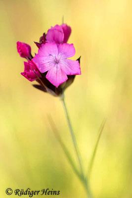Dianthus carthusianorum (Kartäusernelke), 26.6.2019
