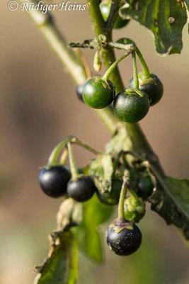 Solanum nigrum (Schwarzer Nachtschatten) Beeren, 3.11.2018