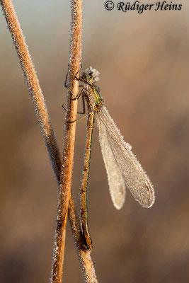 Lestes virens (Kleine Binsenjungfer) Weibchen, 3. November 2016 8:36 Uhr