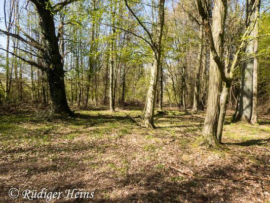 Gagea spathacea (Scheiden-Gelbstern) Habitat, 21.4.2020