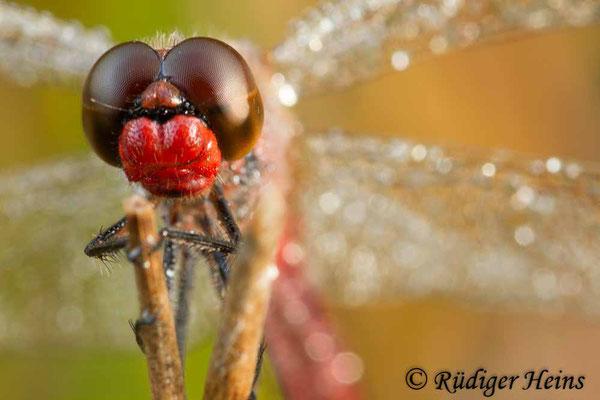 Sympetrum pedemontanum (Gebänderte Heidelibelle) Männchen, 19.8.2012