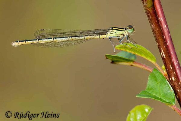 Erythromma lindenii (Pokaljungfer, Saphirauge) Weibchen, 5.7.2009