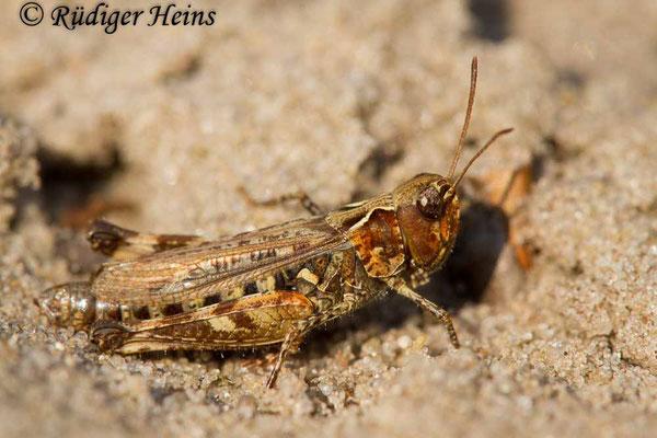 Myrmeleotettix maculatus (Gefleckte Keulenschrecke) Weibchen, 4.9.2017