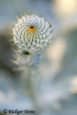 Onopordum acanthium (Gewöhnliche Eselsdistel) Knospe, 28.6.2019