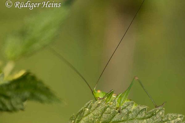 Conocephalus dorsalis (Kurzflügelige Schwertschrecke) Weibchen, 11.8.2020