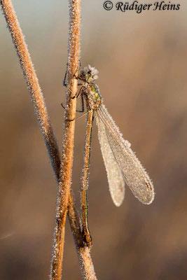Lestes virens (Kleine Binsenjungfer) Weibchen, 3. November 2016 8:34 Uhr