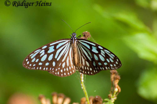 Ideopsis similis (Ceylon Blue Glassy Tiger), 26.1.2018