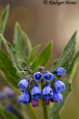 Symphytum caucasicum (Kaukasischer Beinwell), 31.5.2014